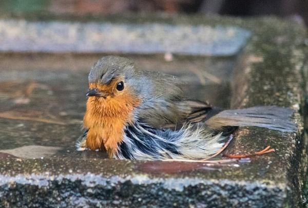 Bathing robin by oldgreyheron