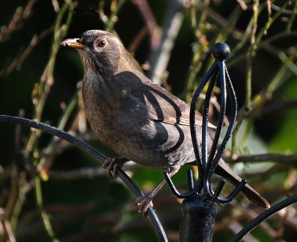 Female blackbird. by paulbroad