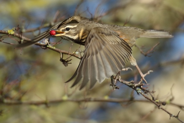 Redwing\'s by colin beeley