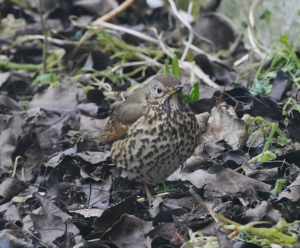 Song thrush - camouflage by HobbitDave