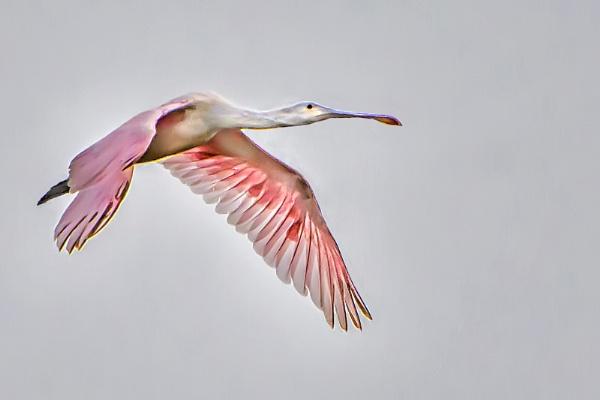 Roseate spoonbill flyover by jbsaladino