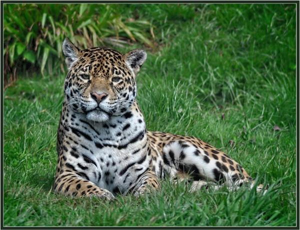Jaguar by PhilT2
