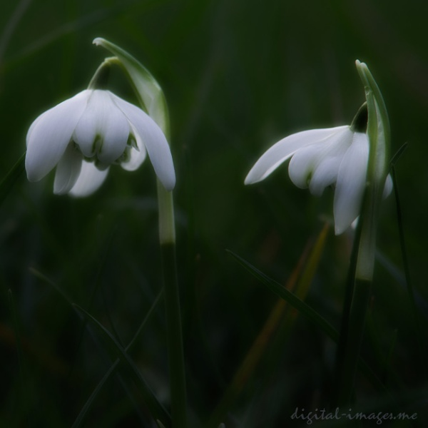 Double Snowdrops by Alan_Baseley