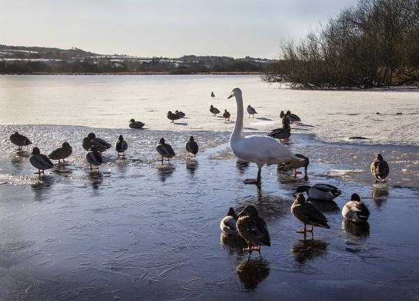 Lonesome Swan by Irishkate