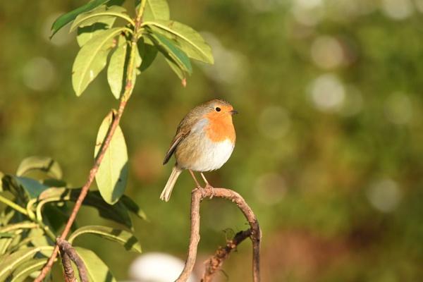 Bokah Robin by ShaunsPics