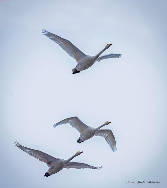 Swans. by kuvailija