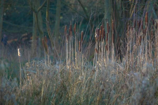 Bursting Bulrushes by Fefe
