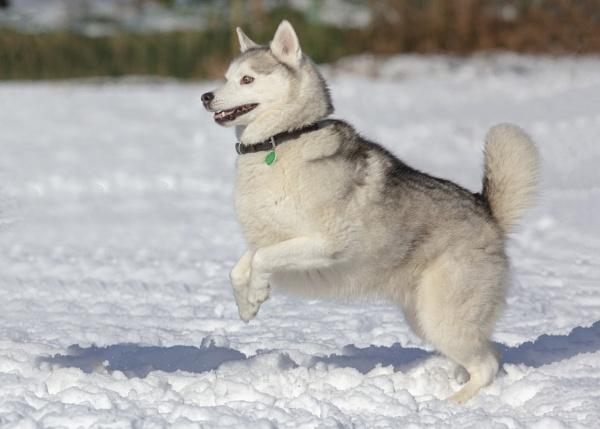 Siberian Husky by MossyOak