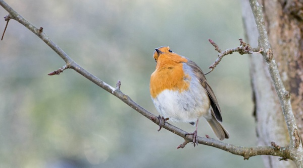 Robin the red by Danny1970