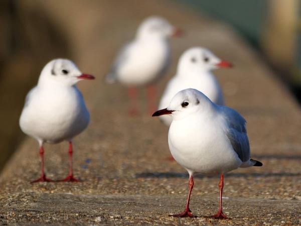 Black-headed gull by DerekHollis