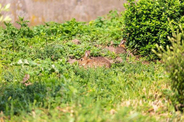 Rabbit on grass field by rninov