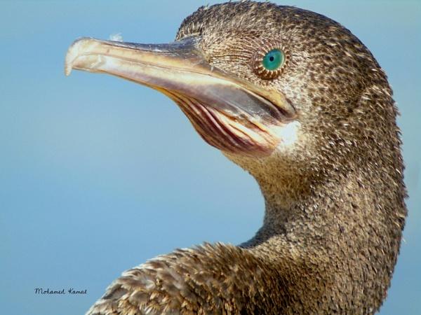 Socotra Cormorant by SharjahBirds