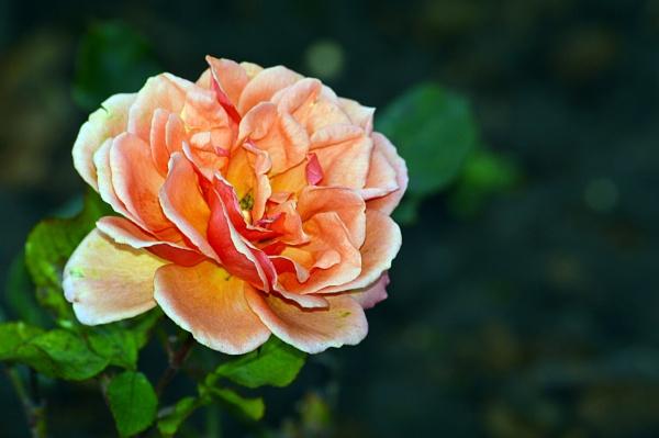 Sad rose by onlythepony