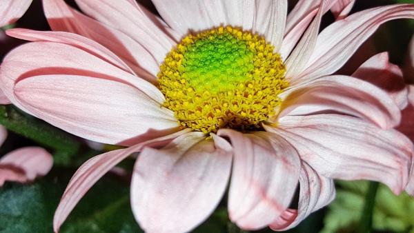 Pastel pink by KrazyKA