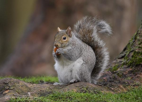 Grey squirrel by Glenn1487