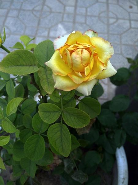 flower by nkargar1356