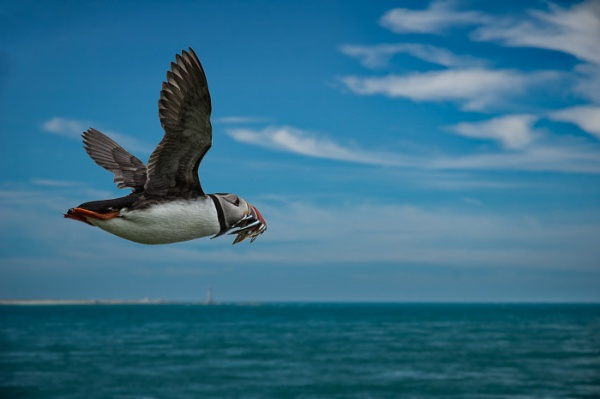 PUFFIN by dven