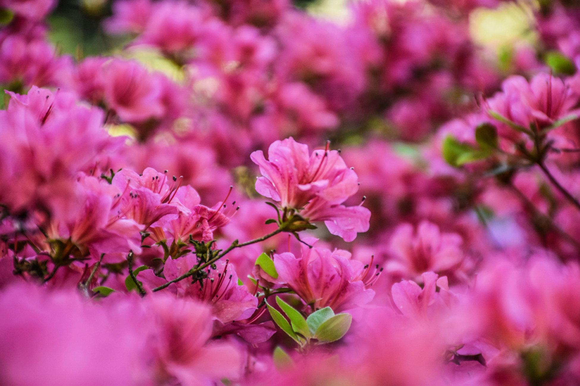 Flowers Azaleas in Spring
