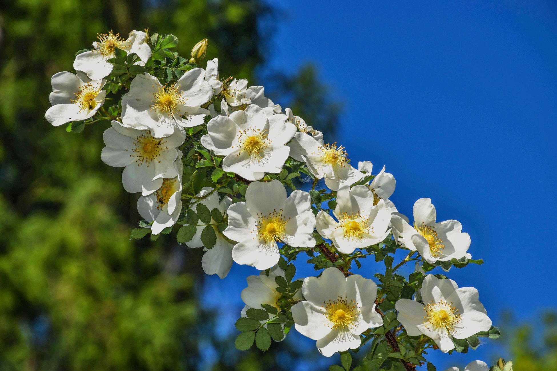 Flowers White Roses