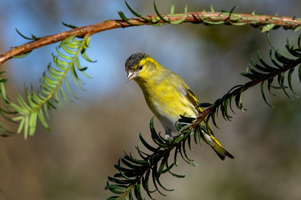 Siskin male by Mike_Young