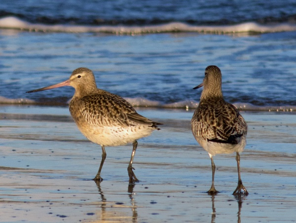 Bar Tailed Godwits by oldgreyheron