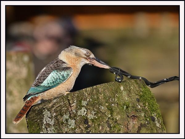Kookaburra by Maiwand