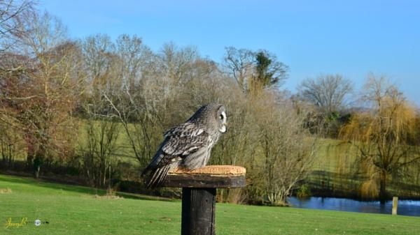 Great Grey owl by jb_127