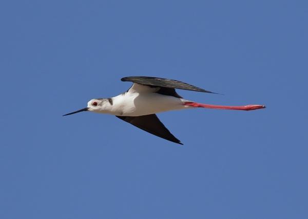 Blackwing Stilt in Flight by NeilSchofield