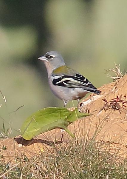 Unidentified Finch by NeilSchofield