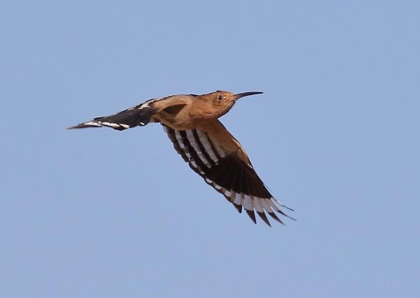 Hoopoe in Flight by NeilSchofield