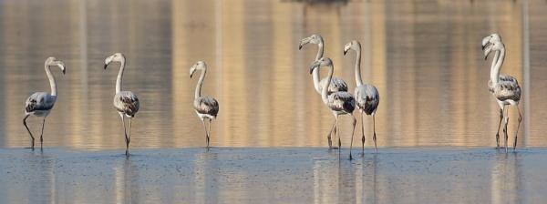 Juvenile Flamingos by NeilSchofield