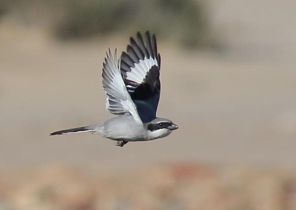 Great Grey Shrike in Flight by NeilSchofield