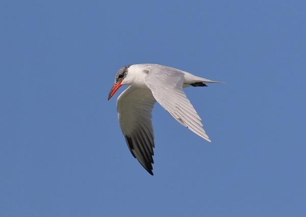 Caspian Tern in Flight by NeilSchofield
