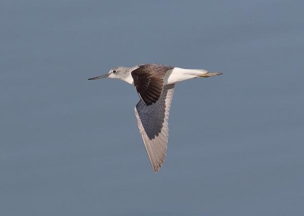 Greenshank In Flight by NeilSchofield