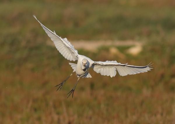Cattle Egret by NeilSchofield