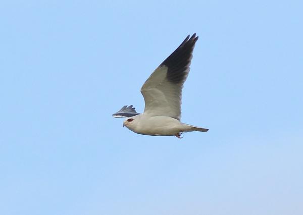 Black Winged Kite in Flight by NeilSchofield