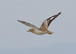 Stone Curlew in Flight
