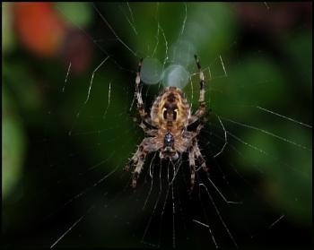 Araneus Diadematis:-