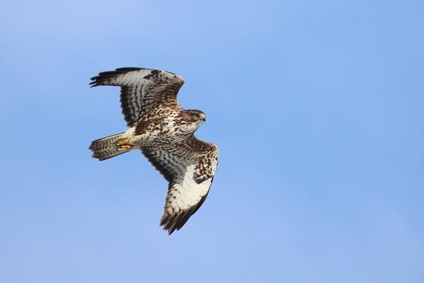 Buzzard Flight by gwood