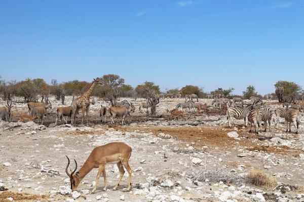Black faced Impala,  Kudu, Eland,Giraffe, Zebra,Elephant at Watering Hole . by HenB