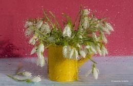 Snowdrops in bloom inside the window