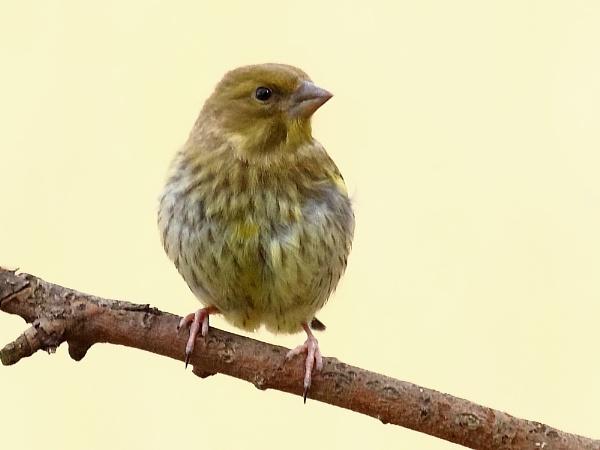 Greenfinch Jnr by TerryMcK
