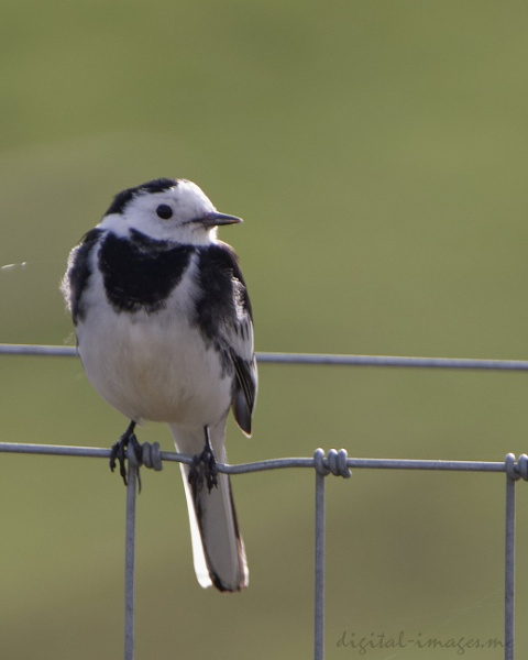 Pied Wagtail by Alan_Baseley