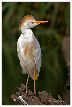 Rietvlei Egret