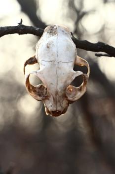 Cat Skull #1