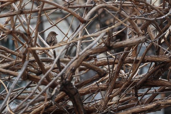 Sparrow by alxmb