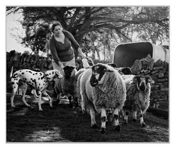 Wannabe Sheepdog ..