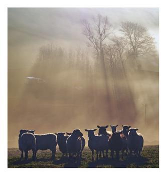 Sheep on a misty morning ..
