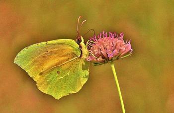 Cleopatra butterfly on wild flower.