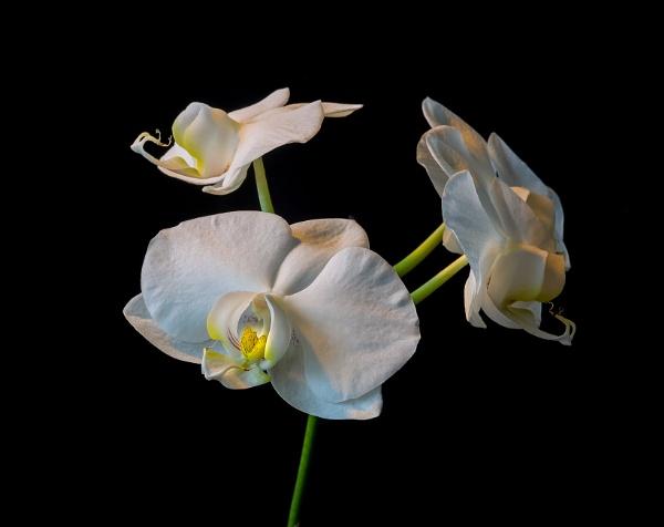 Orchid. by kuvailija